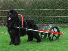 Newfoundland harness to a modern cart