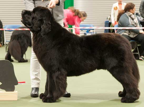 Winner of Special Yearling Dog